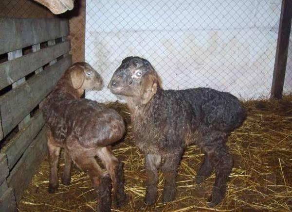 Курдючный баран: породы овец этого вида, описание и разведение