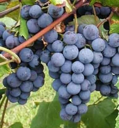 Виноград изабелла: польза и вред, заготовки, калорийность, характеристики