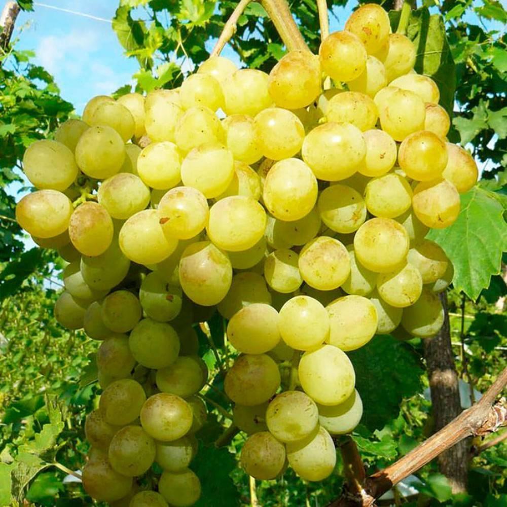 Сорт винограда столетие, описание сорта с характеристикой и отзывами, а также особенности посадки и выращивания, фото