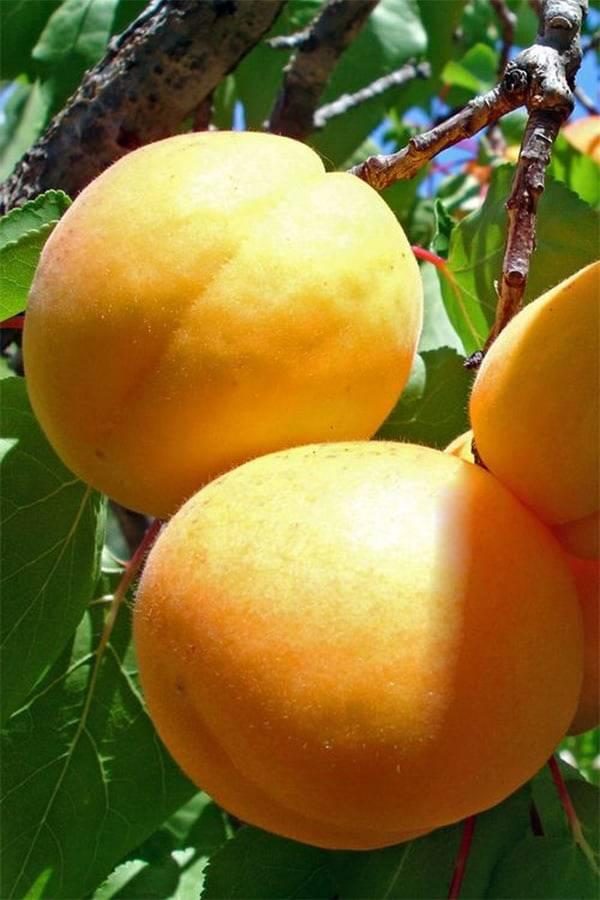 Погремок: урожайный сорт абрикоса