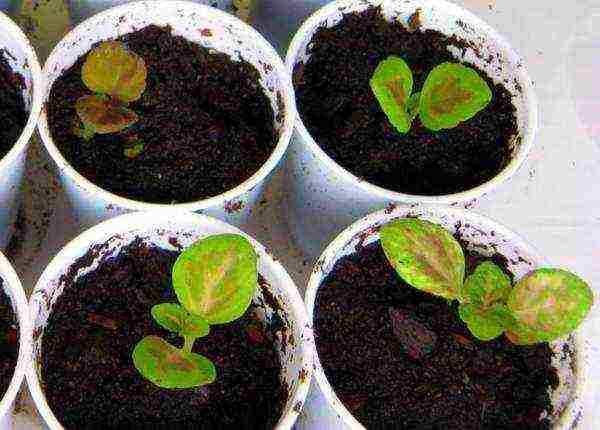 Цветок колеус: посадка и уход в домашних условиях