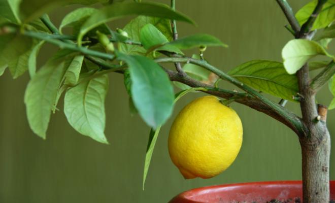 Лимон мейера оранжевого цвета, как правильно называется цитрофортунелла, инструкция по выращиванию сорта и уходу за ним в домашних условиях
