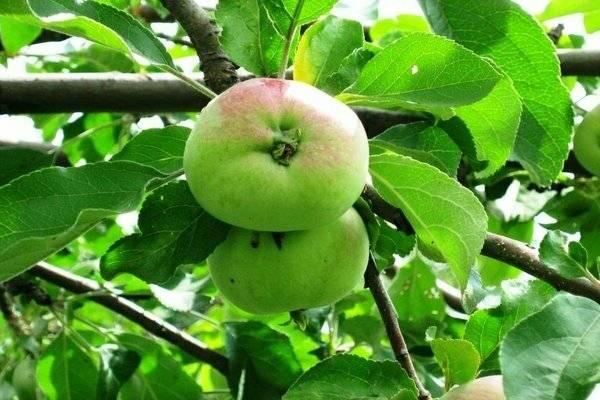 Яблоня аскольда: отзывы садоводов, фото и описание сорта