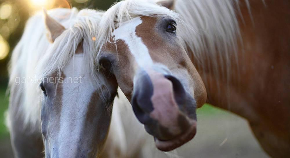 Спаривание лошадей вблизи - смотреть видео онлайн