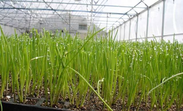 Выращиваем лук из семян за один сезон! – дачные дела
