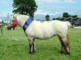 Аппалуза: порода пони,описание, фото