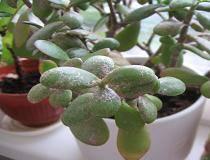 Почему на листьях и стволе денежного дерева появляется белый налет? как выявить причину и спасти растение?