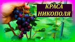 «краса никополя» – столовый сорт ультрараннего винограда