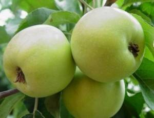 Приземленное — описание сорта яблок и правила агротехники