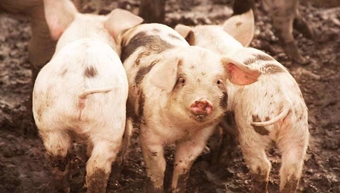 Некротический энтерит свиней - болезни свиней