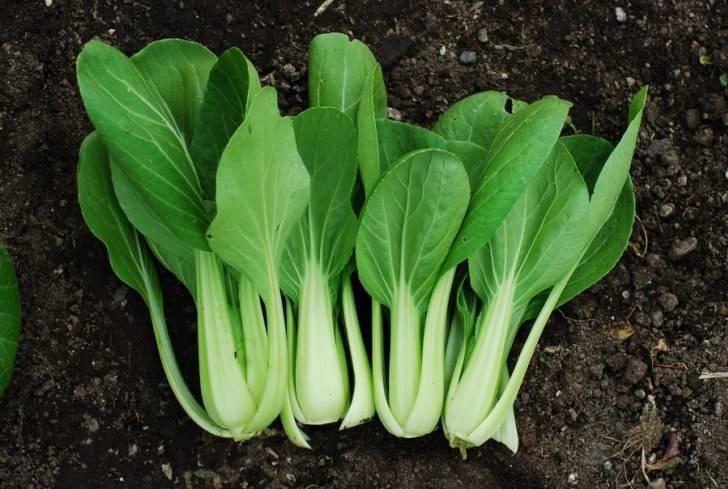 Все самое интересное о капусте китайской пак-чой. фото овоща