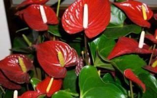Антуриум - комнатный красавец с ярко-красными цветками
