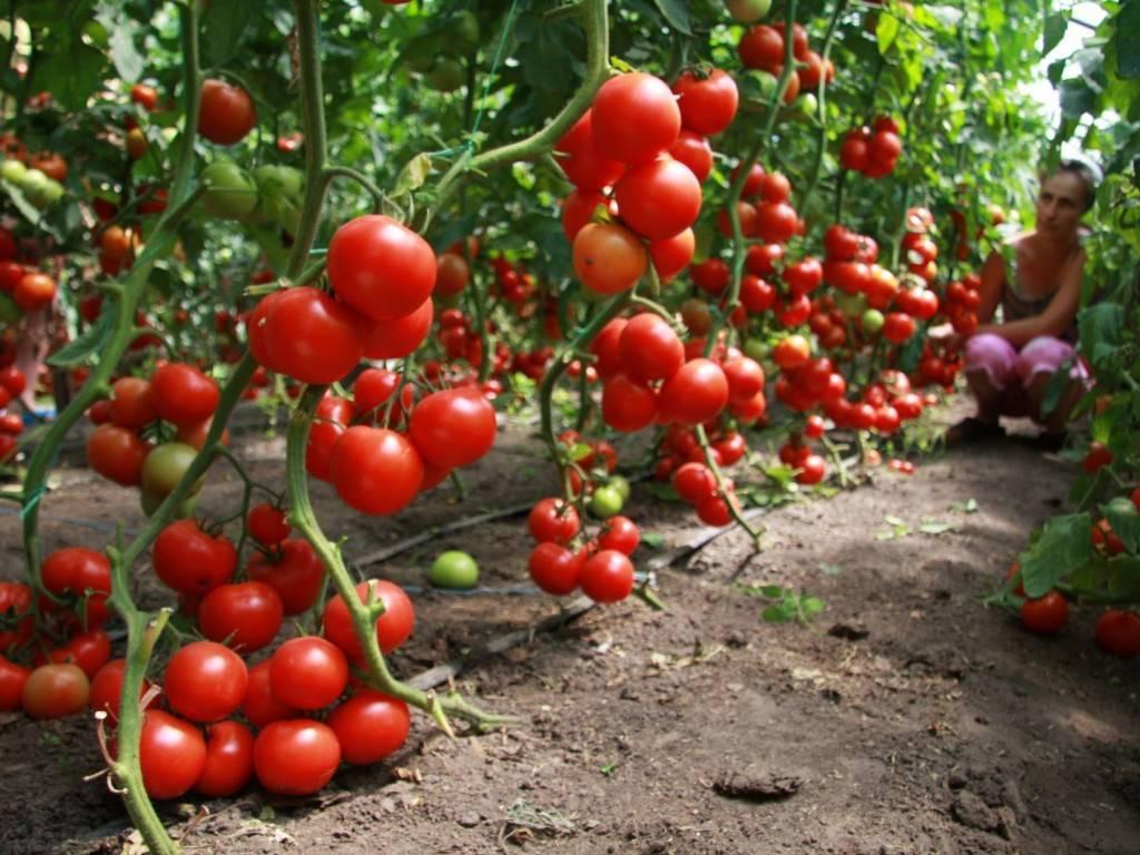 Томат бони мм: описание сорта помидоров, фото полученного урожая и отзывы огородников о его преимуществах и недостатках