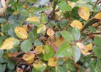 Желтеют листья у розы: почему? топ причины и их решения с фото