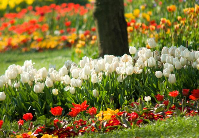 Когда пересаживать тюльпаны на другое место: сроки и рекомендации