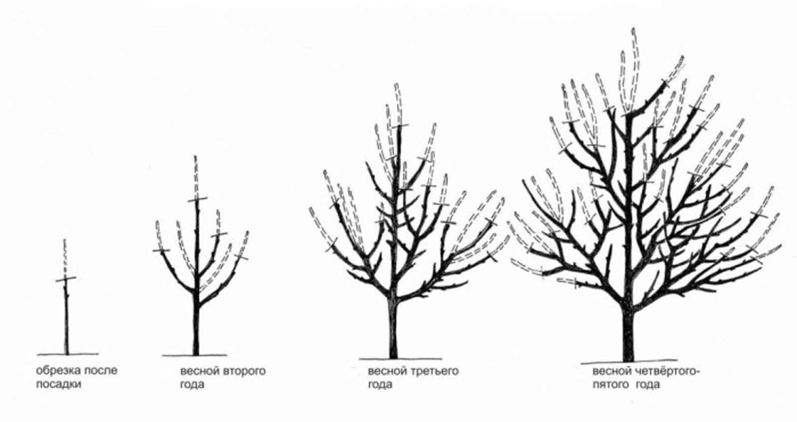 Обрезка абрикоса: когда и как правильно ее делать, схемы с фото