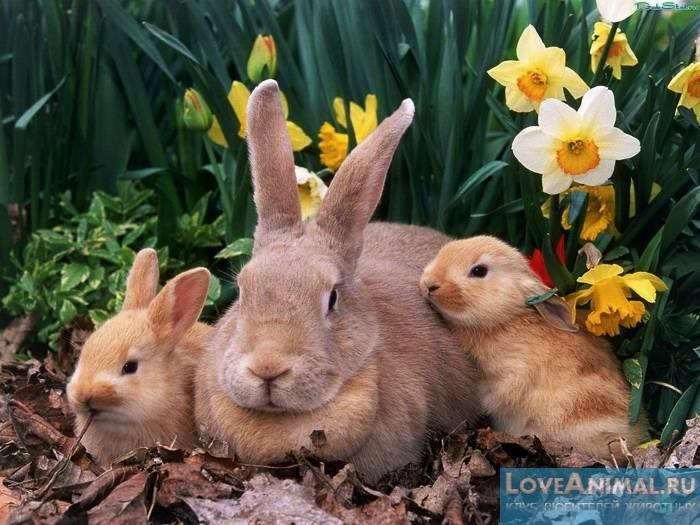 Поведение крольчихи перед окролом: признаки окрола