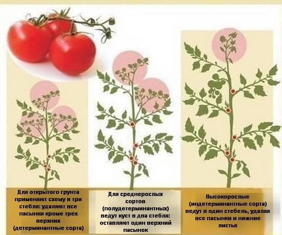 Формирование кустов помидоров в теплицах