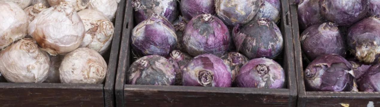 Гиацинт после цветения в горшке - как обрезать, что делать с луковицами?