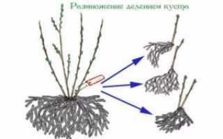 Как размножить смородину черенками осенью: черенкование и посадка черной и красной