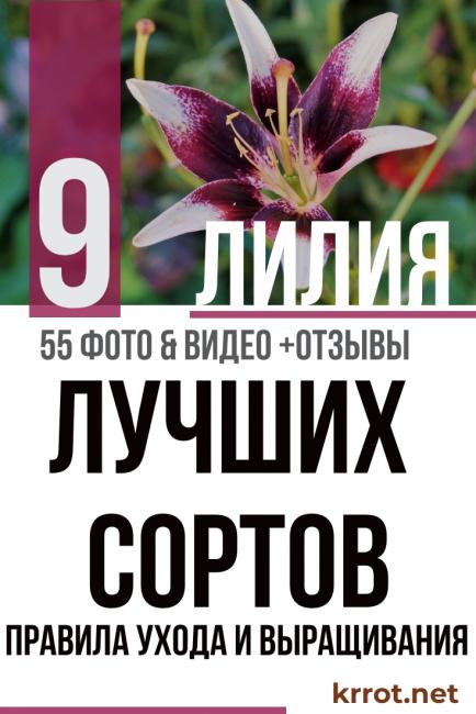 Лилия (55+ фото) восточной красавицы – описание 9 сортов, правила ухода и выращивания +отзывы