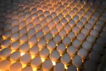 Процесс овоскопирования куриных яиц