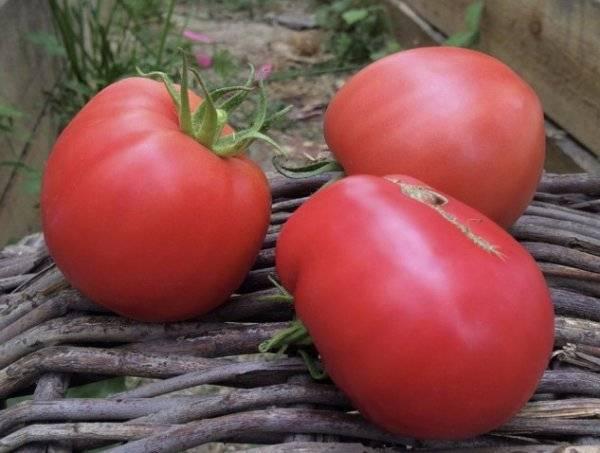 Томат розовый спам: отзывы, урожайность, характеристика и описание