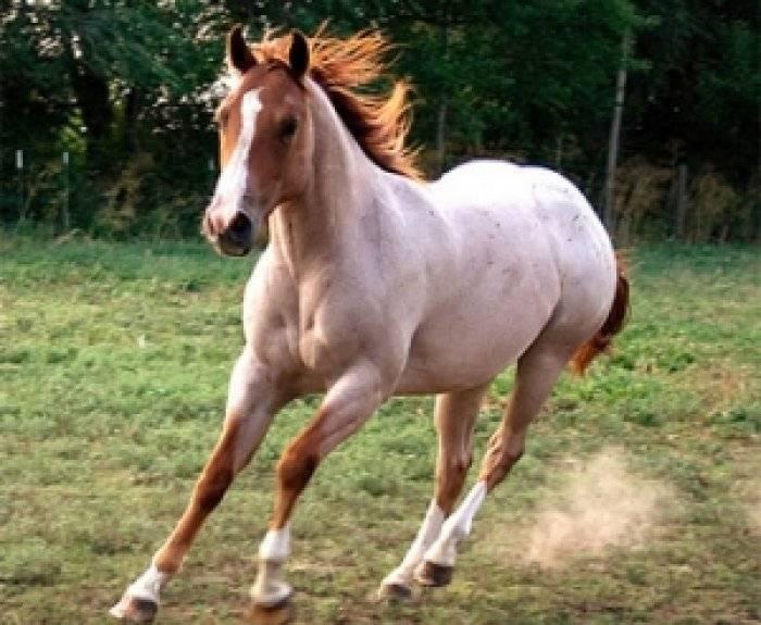 Чалая масть лошадей: описание окраса, характеристики, фото