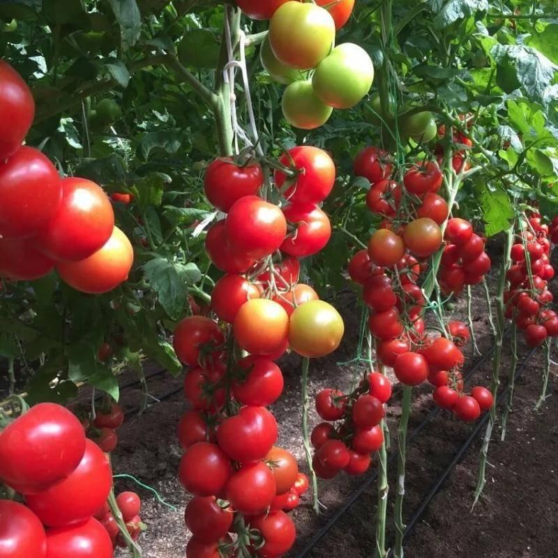 Помидоры благовест: описание сорта, правила выращивания, урожайность