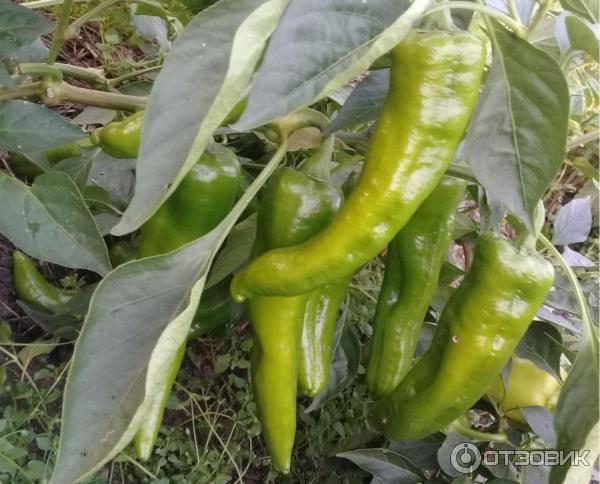 Характеристика сорта перцев д'артаньян