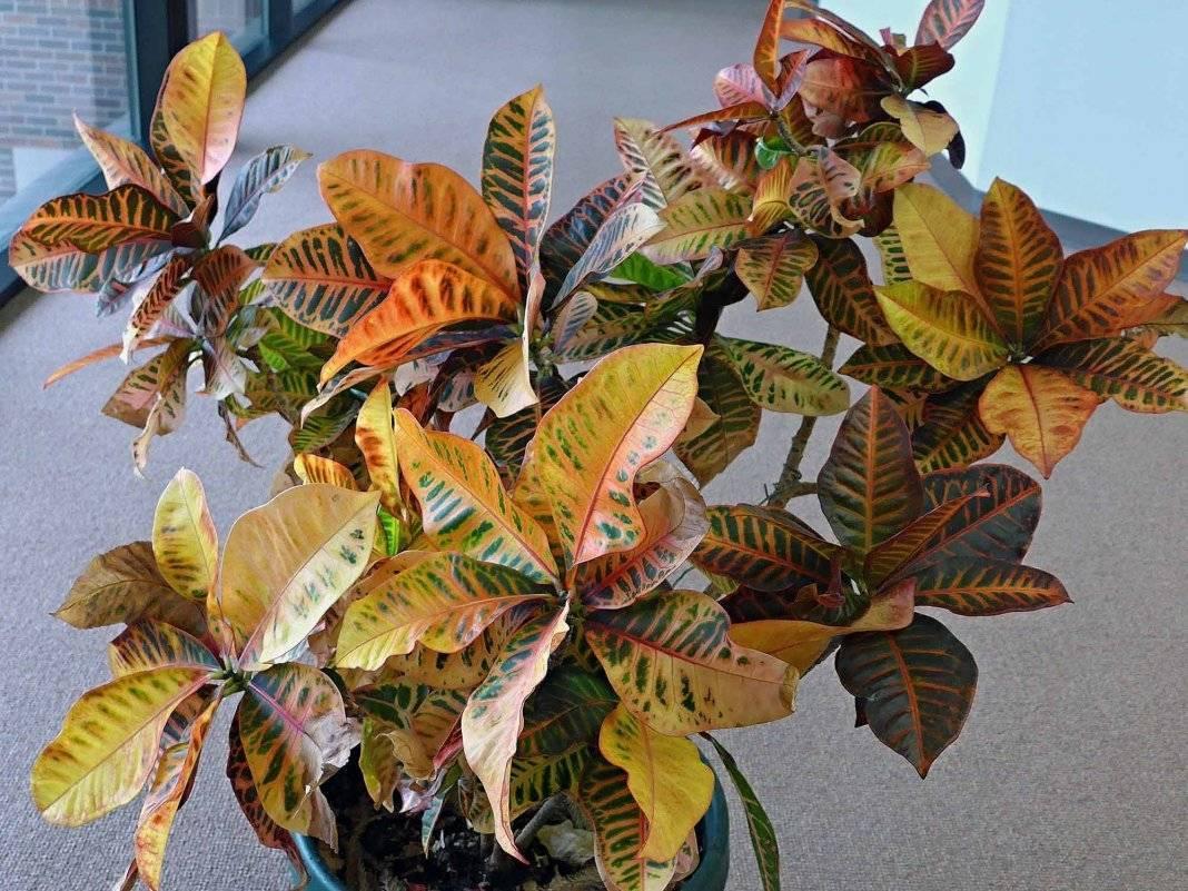 Цветок «кодиеум»: описание, фото, уход в домашних условиях