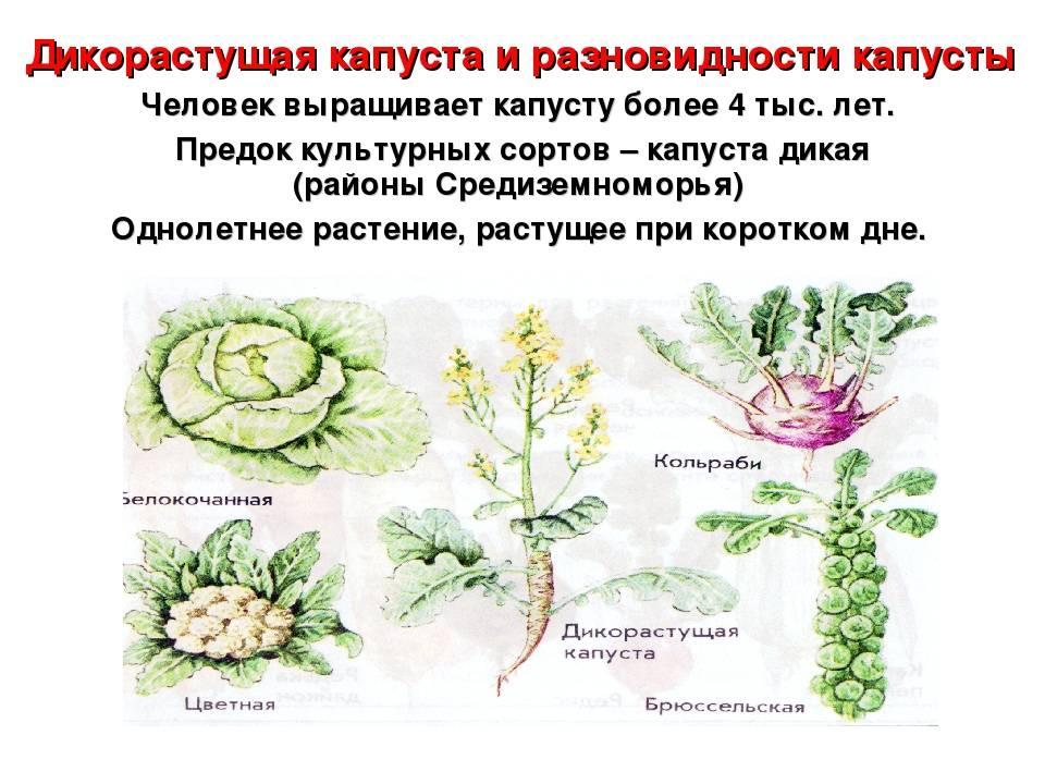 Капуста: что это такое за овощ, описание формулы цветка и кочана, фото растения, а также с какими культурами может быть совместима, какие бывают сорта (названия) русский фермер