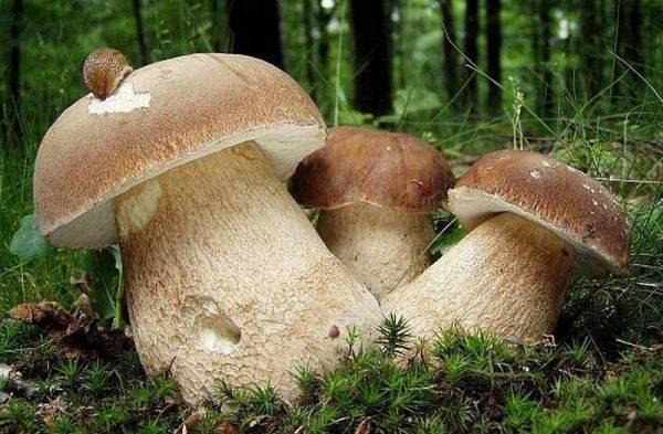 Как заморозить белые грибы - agroflora.ru