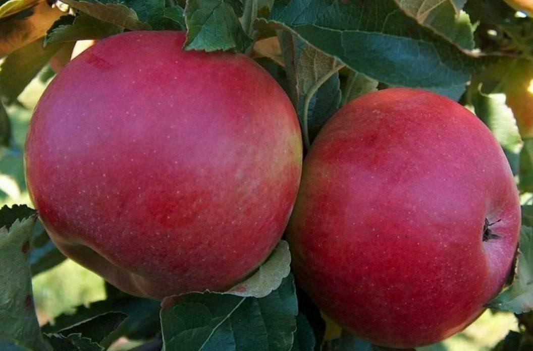 Описание яблони Баяна