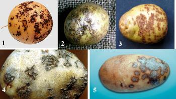 Парша картофеля фото описание и лечение: обработка клубней перед посадкой, как избавиться на участке и в земле