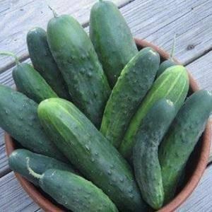 Огурец, известный многим садоводам – либелле f1. характерные признаки культуры, особенности выращивания