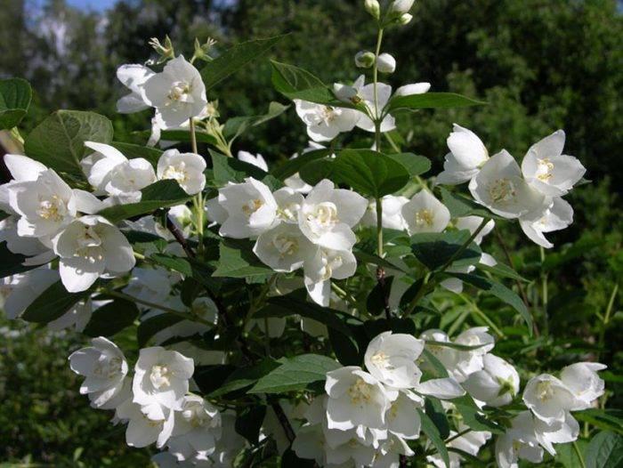 Жасмин: фото, размножение, посадка и уход в открытом грунте