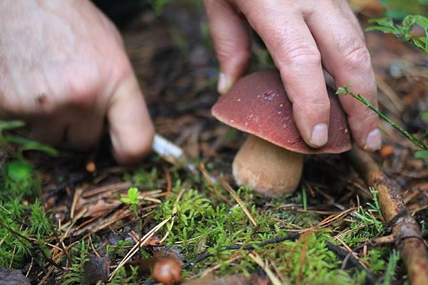 Грибы томской области: грибные места - сельская жизнь