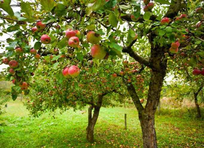 Яблоня мечта: характеристики, посадка, уход и урожайность