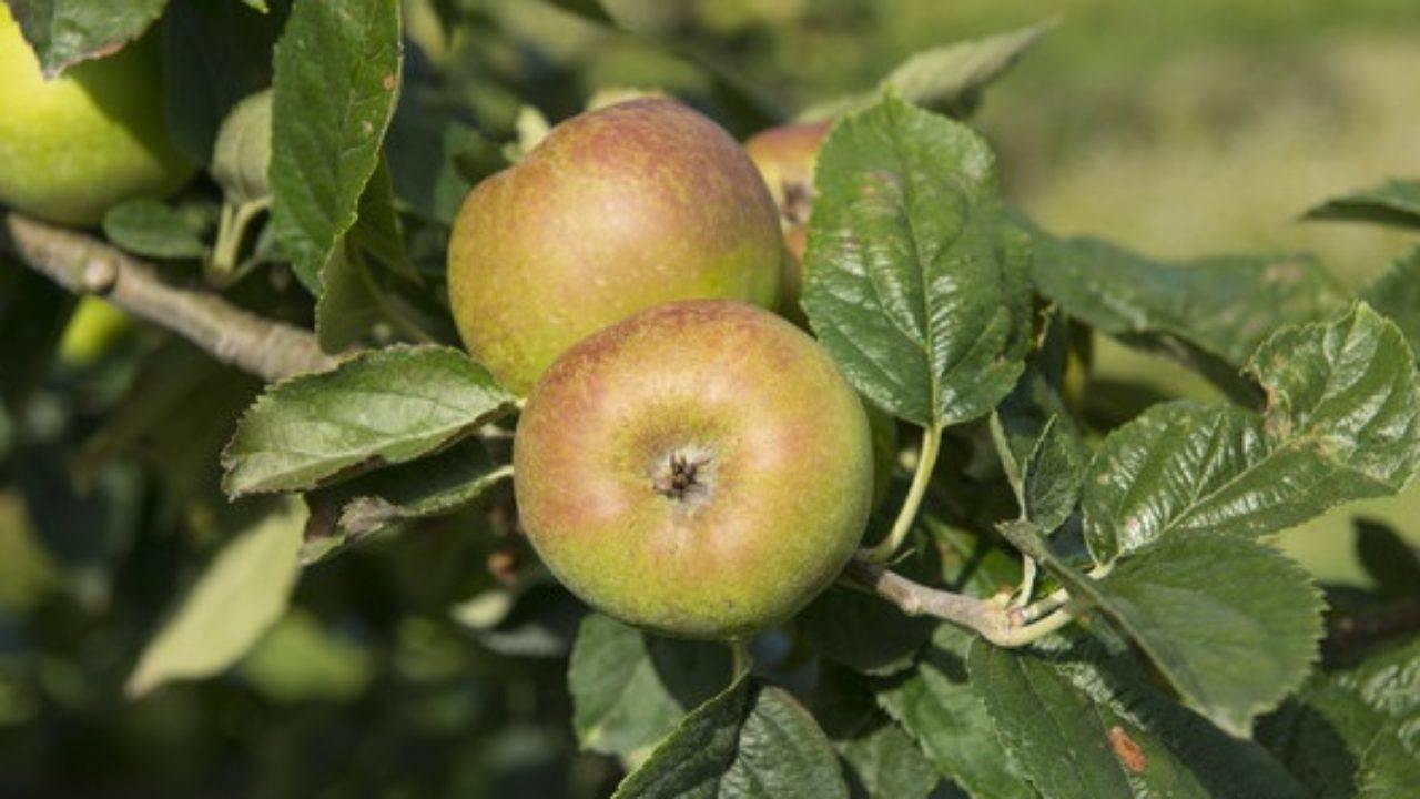Необычная яблоня розовый жемчуг