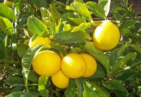 Что делать, если опадают листья у лимона, причины и как его оживить