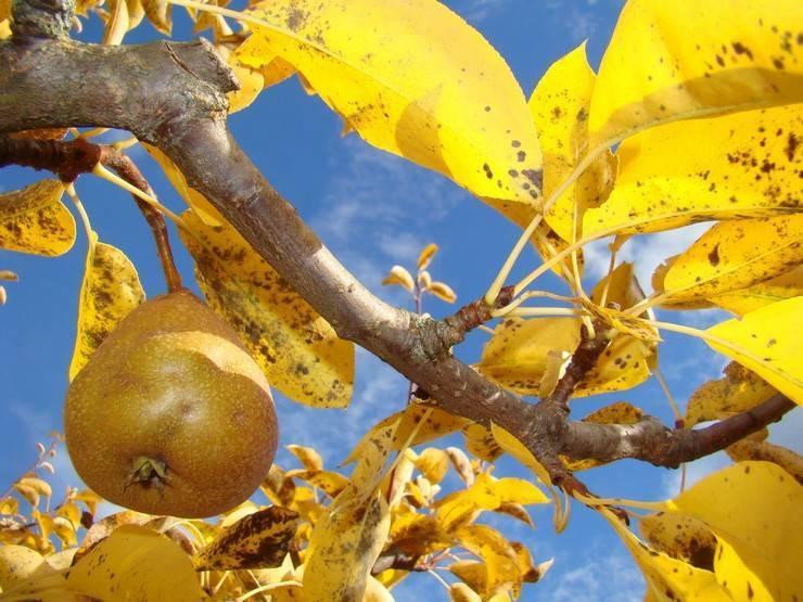 Мероприятия по уходу за яблоней осенью при подготовке к зиме