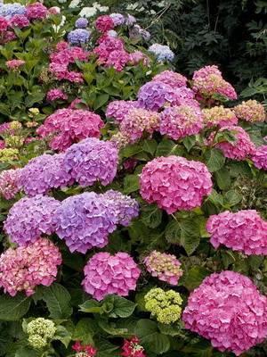Гортензия - 92 фото разновидностей и особенностей ухода за цветком