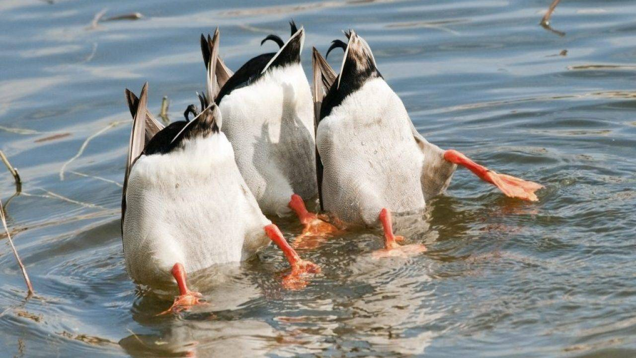 Нырковые утки - на охоте - все про охоту, оружие и охотничье снаряжение
