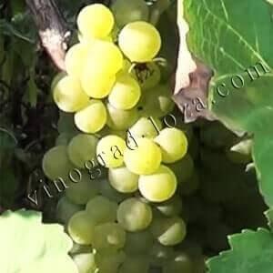 Виноград подарок магарача, описание сорта