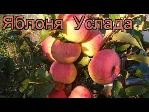 Отзывы о яблоне услада — описание и правила выращивания