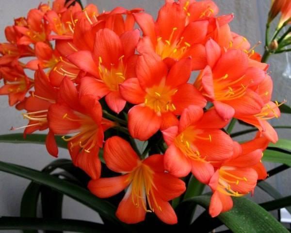 Почему кливия не цветет? особенности выращивания кливии в домашних условиях - sadovnikam.ru