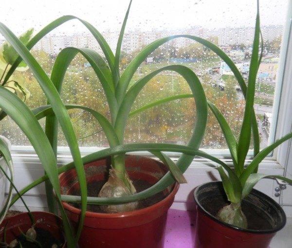 Лук душистый (китайский чеснок): выращивание из семян - agroflora.ru