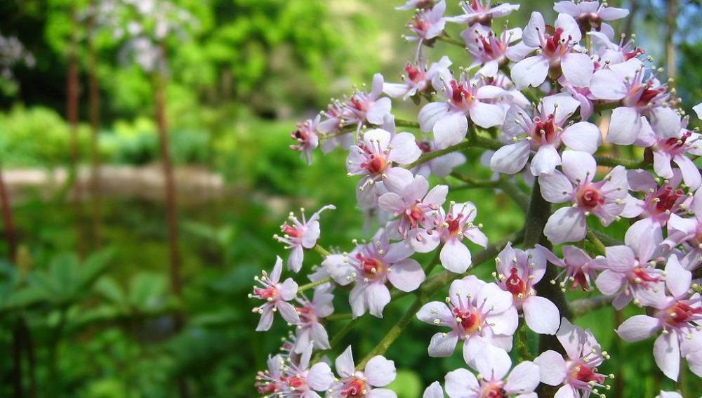 Экзотический цветок роджерсия на даче: варианты посадок и тонкости ухода