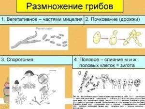 Размножение грибов почкованием: для каких видов это характерно и как происходит